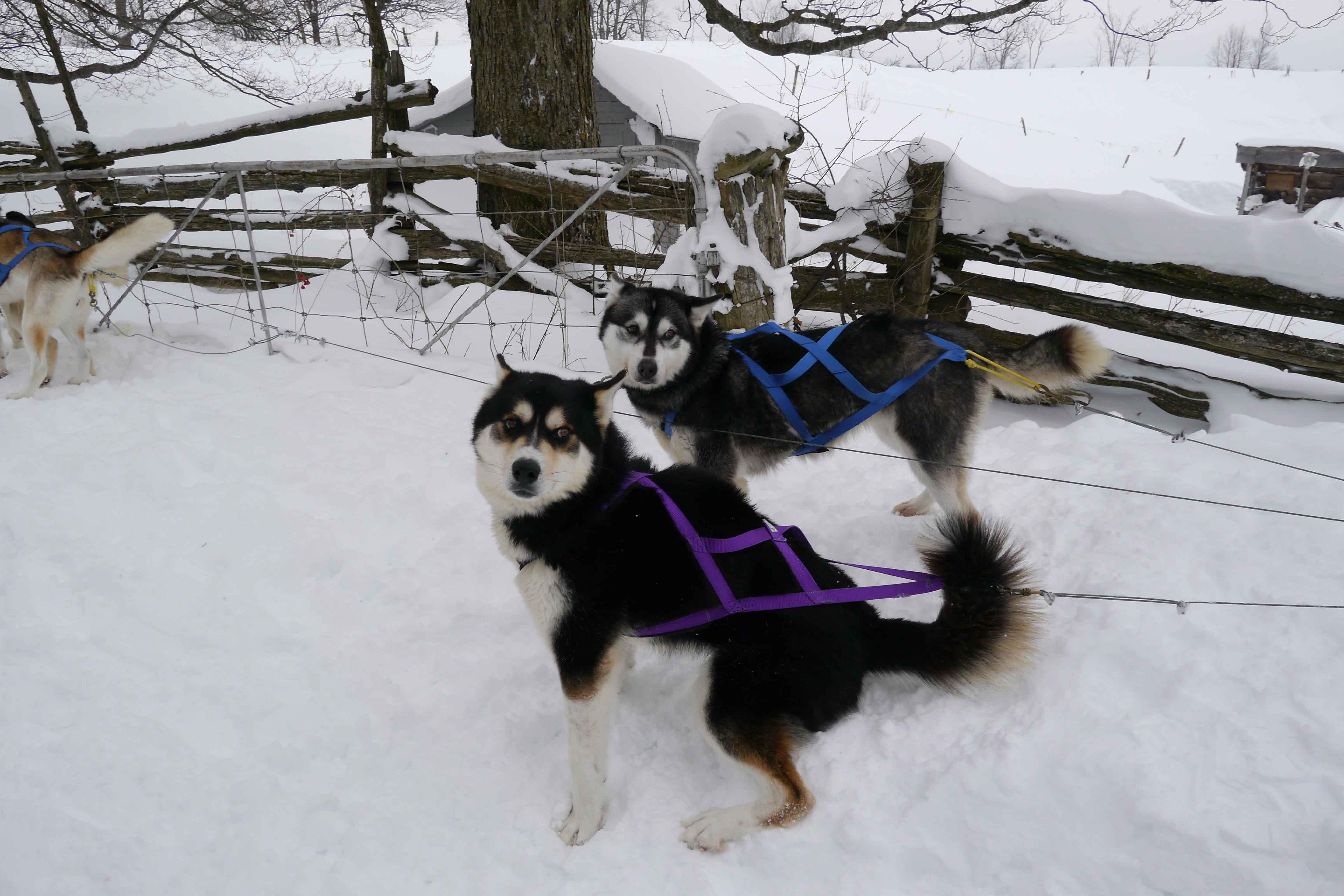 Dogsleding_3